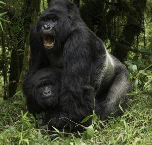 juvenile gorilla mating