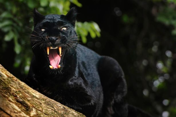 stealthy sex panther